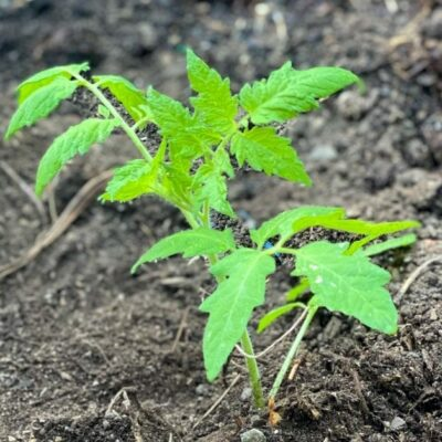 How to Trench Plant Tomatoes and Grow the Most Healthy and Robust Plants