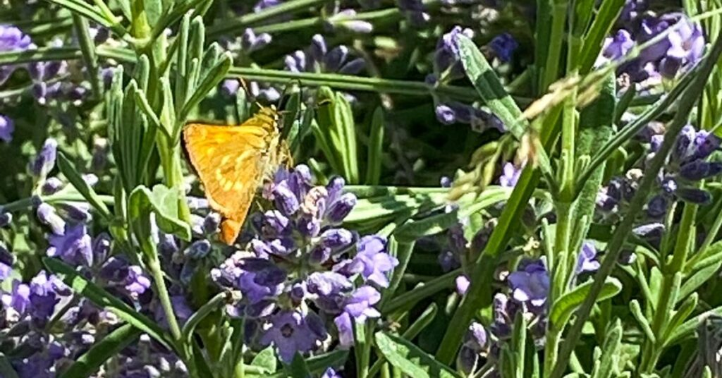 Butterfly pollinating lavender